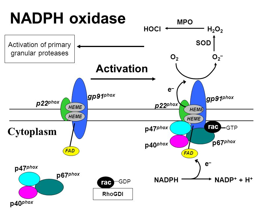 NADPH oxidase Activation Cytoplasm MPO HOCI H2O2 Activation of primary