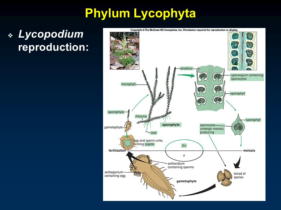 Lycophyta asexual reproduction in fungi