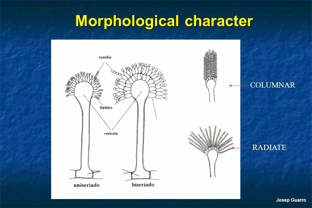 Morphological character