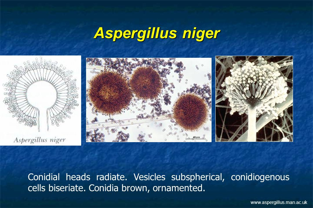Aspergillus niger Conidial heads radiate. Vesicles subspherical, conidiogenous cells biseriate. Conidia brown, ornamented.