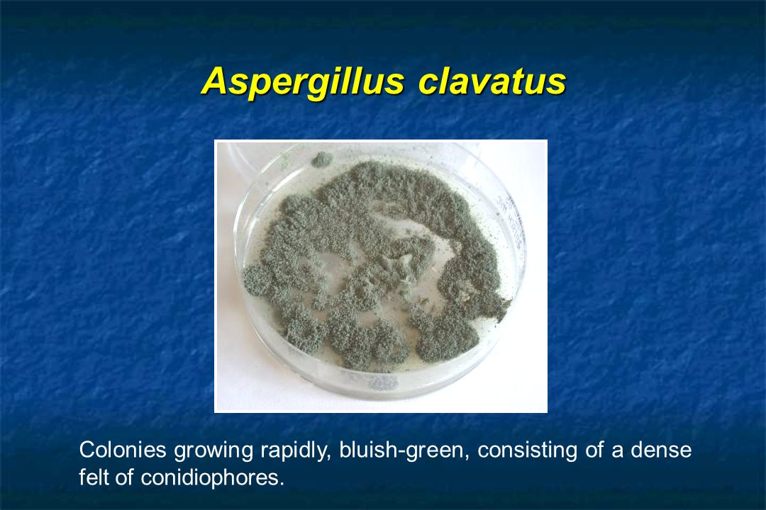 Aspergillus clavatus Colonies growing rapidly, bluish-green, consisting of a dense felt of conidiophores.