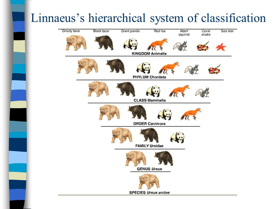 Linnaeus%E2%80%99s+hierarchical+system+of+classification classification ppt download