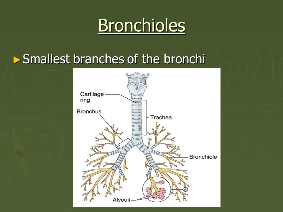 Bronchioles Smallest branches of the bronchi