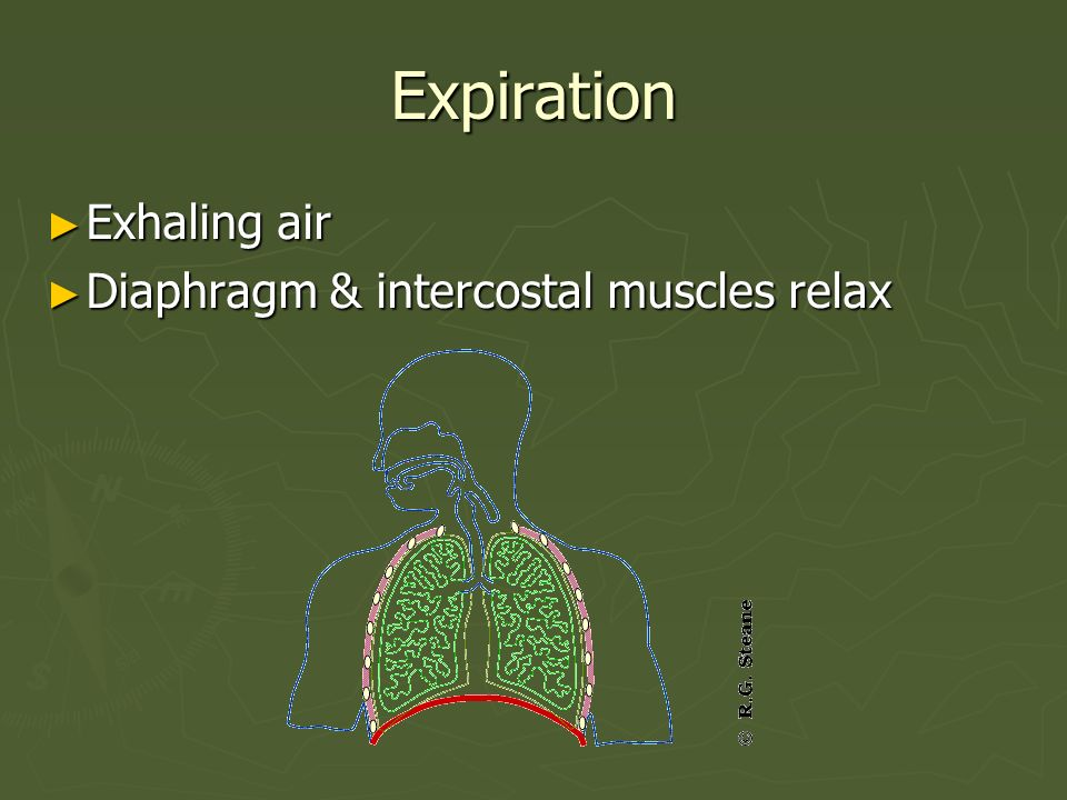 Expiration Exhaling air Diaphragm & intercostal muscles relax