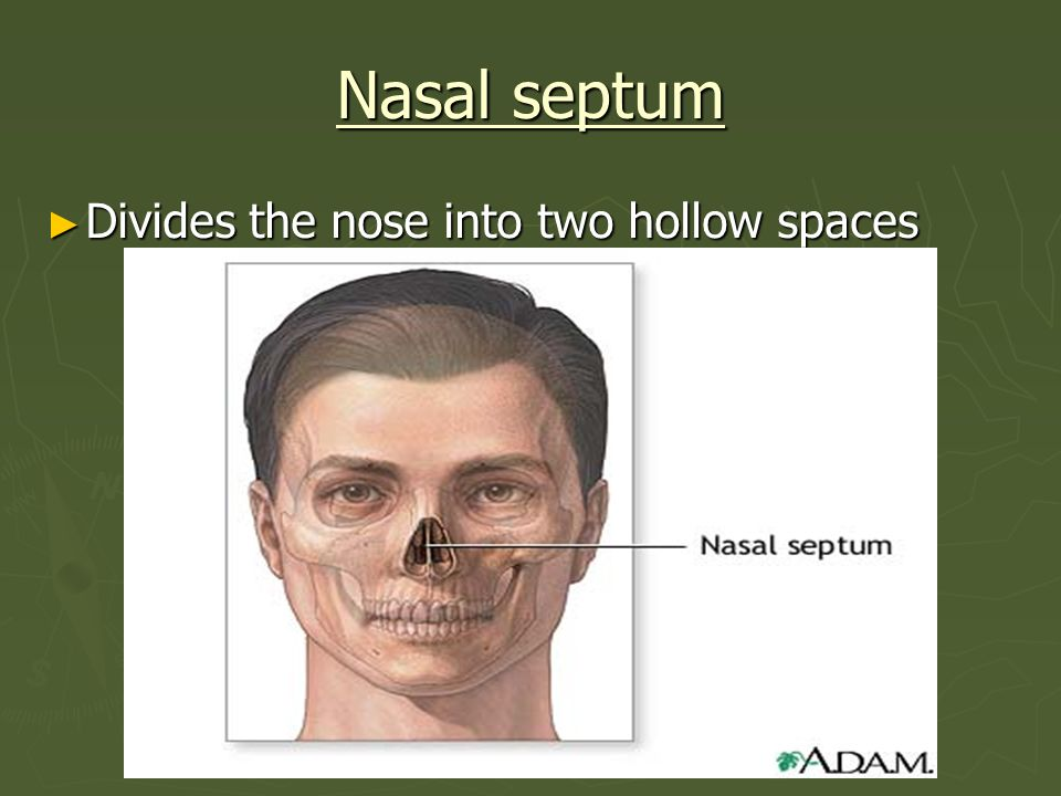 Nasal septum Divides the nose into two hollow spaces