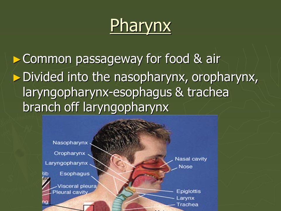 Pharynx Common passageway for food & air