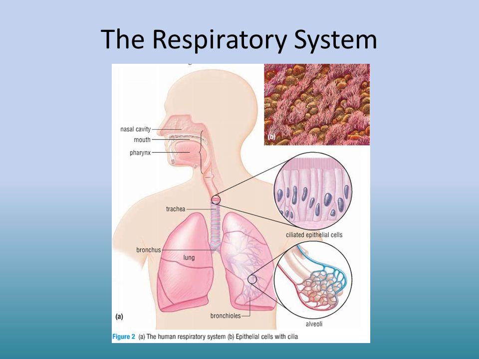 Respiratory System Structures Gas Exchange Diseases Ppt Download