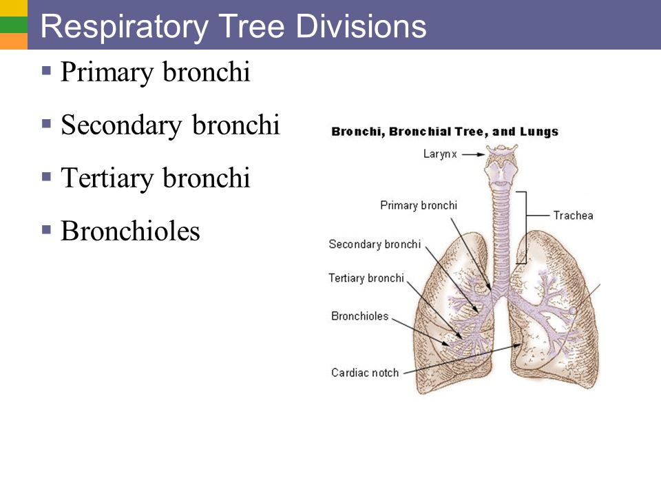 Divisions Bronchial Tree Diagram - Block And Schematic Diagrams •