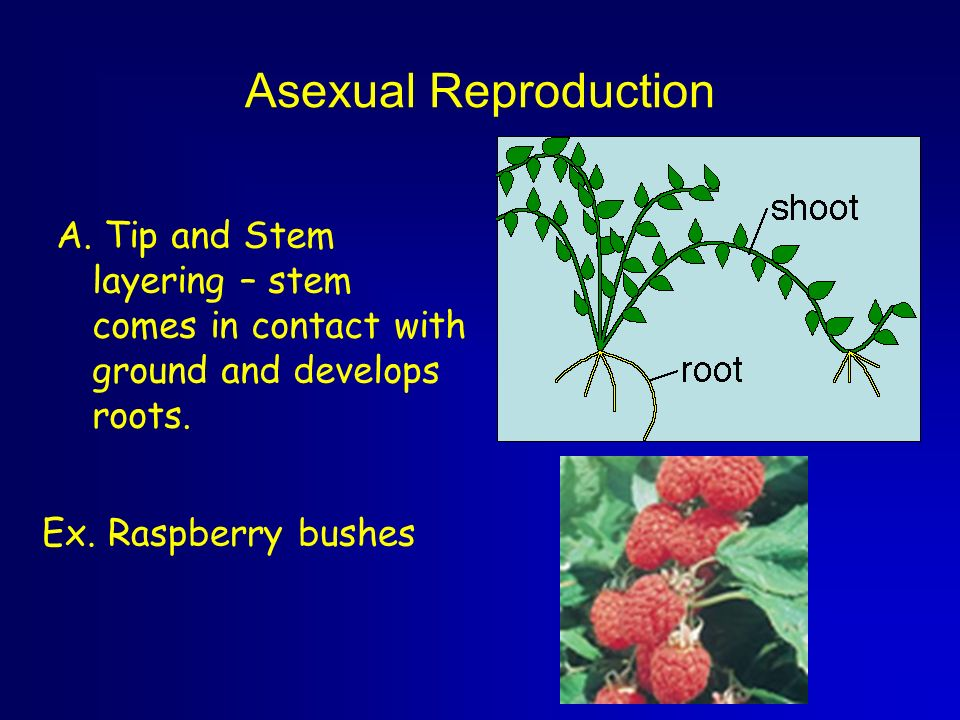 Asexual reproduction in plants rhizomes journal
