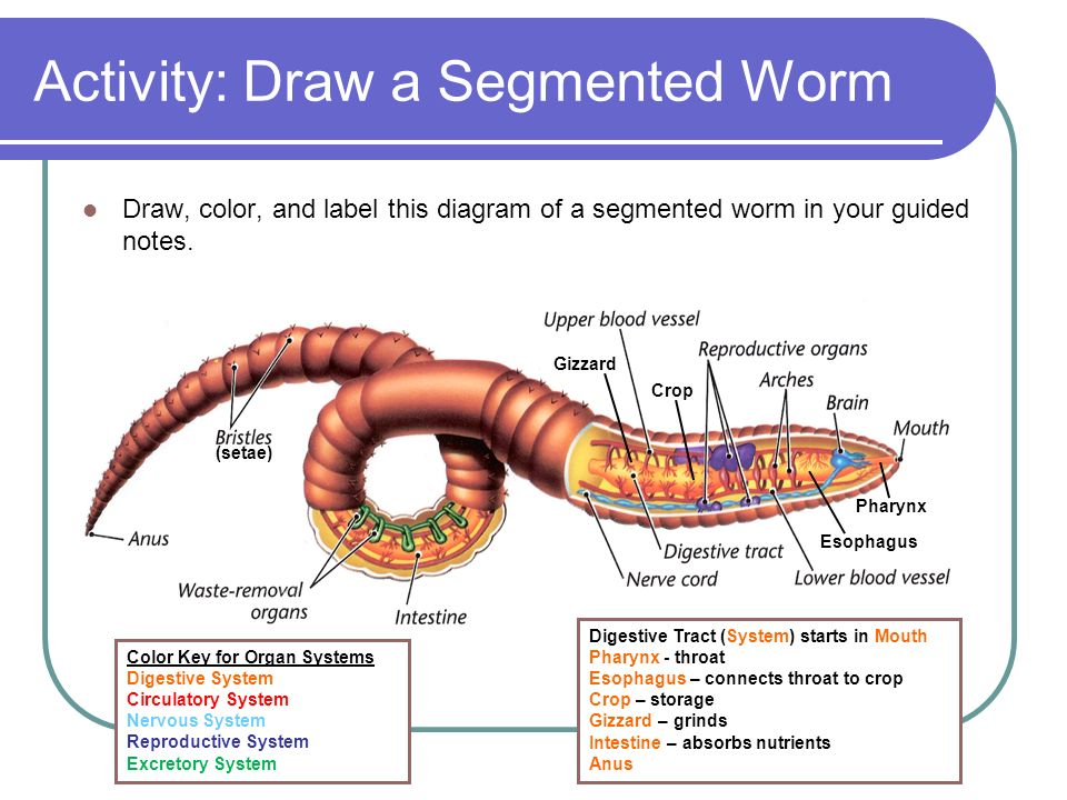Earthworm diagram colored electrical work wiring diagram worms flatworms roundworms and segmented worms science7 ppt rh slideplayer com simple earthworm diagram earthworm diagram unlabeled ccuart Choice Image