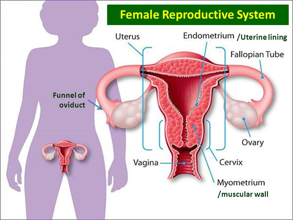93 Human Reproductive System Ppt Download