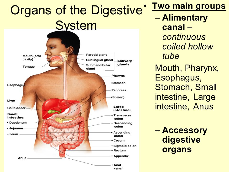 The Digestive System And Body Metabolism Chapter Ppt Download