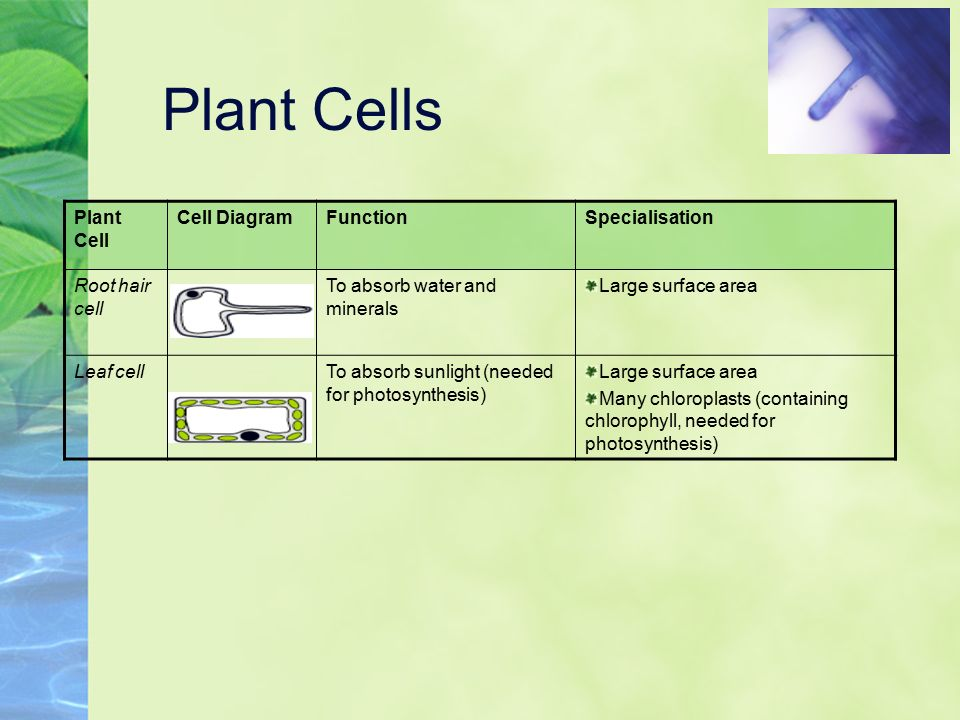 Cell adaptation to know how animal and plant cells are adapted for plant cells plant cell cell diagram function specialisation ccuart Choice Image