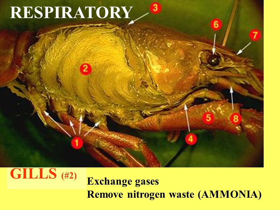 Crayfish Dissection Ppt Video Online Download