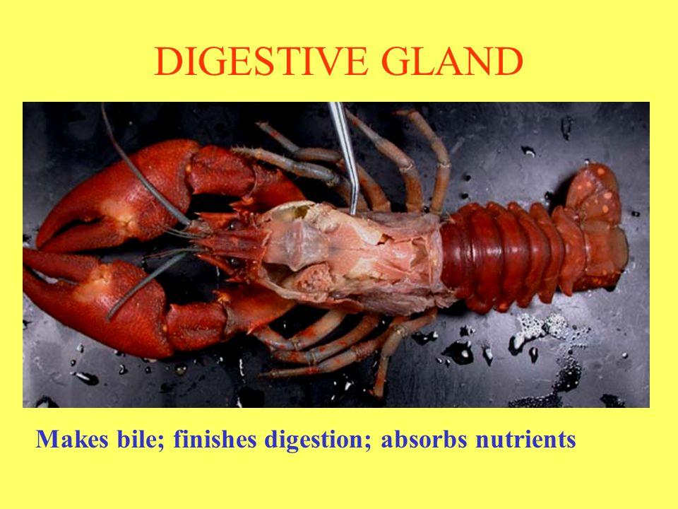 nude-crayfish-parts-anus-pic