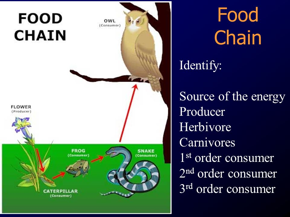 Food Chain Identify: Source of the energy Producer Herbivore