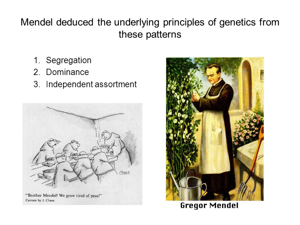 Mendel deduced the underlying principles of genetics from these patterns