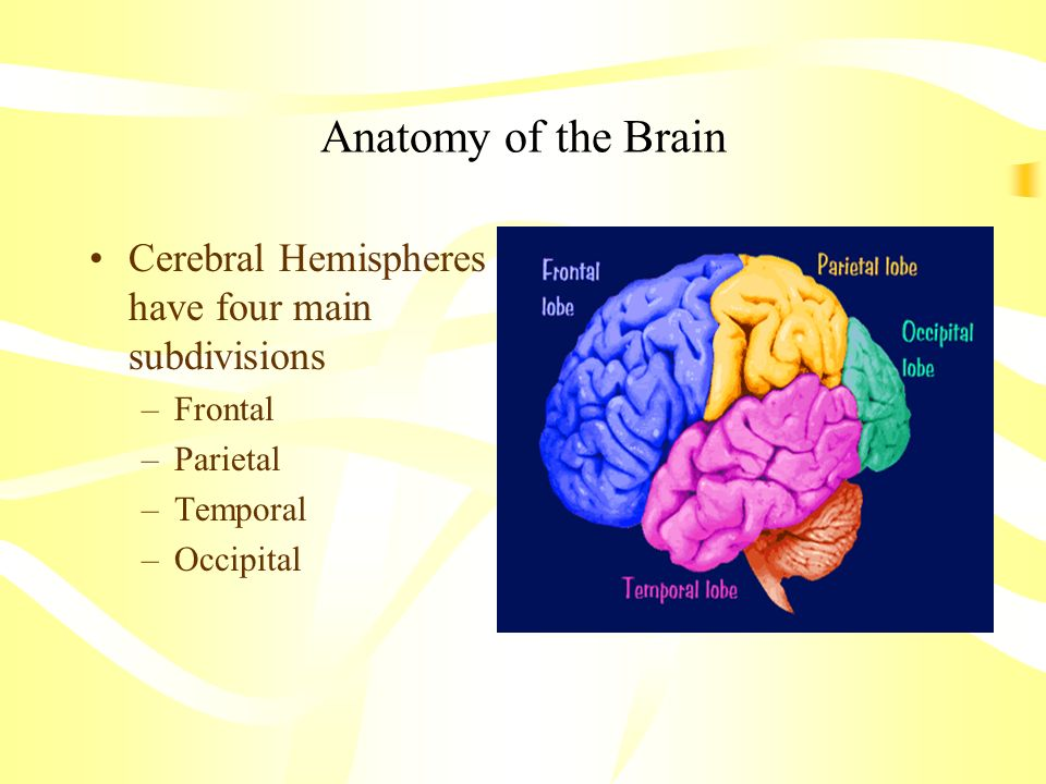 Anatomy of the Brain Cerebral Hemispheres have four main subdivisions