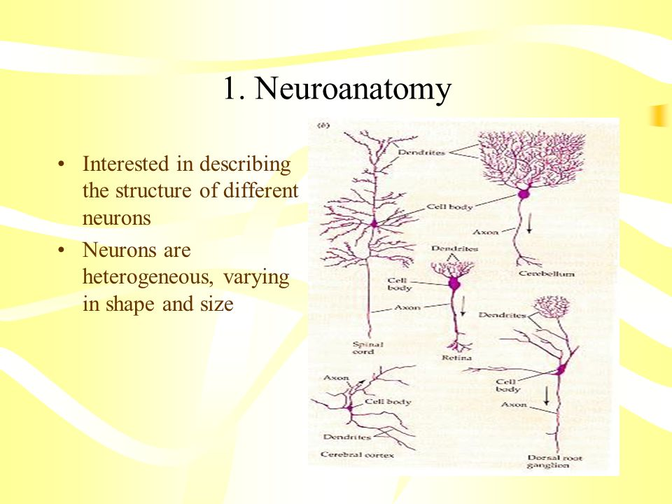 1. Neuroanatomy Interested in describing the structure of different neurons.
