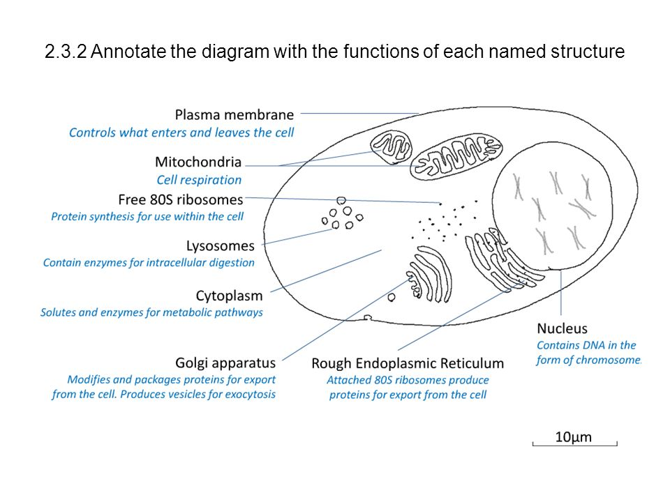 Annotated Diagram Of The Cell Membrane