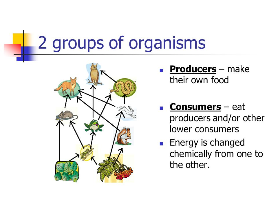2 groups of organisms Producers – make their own food