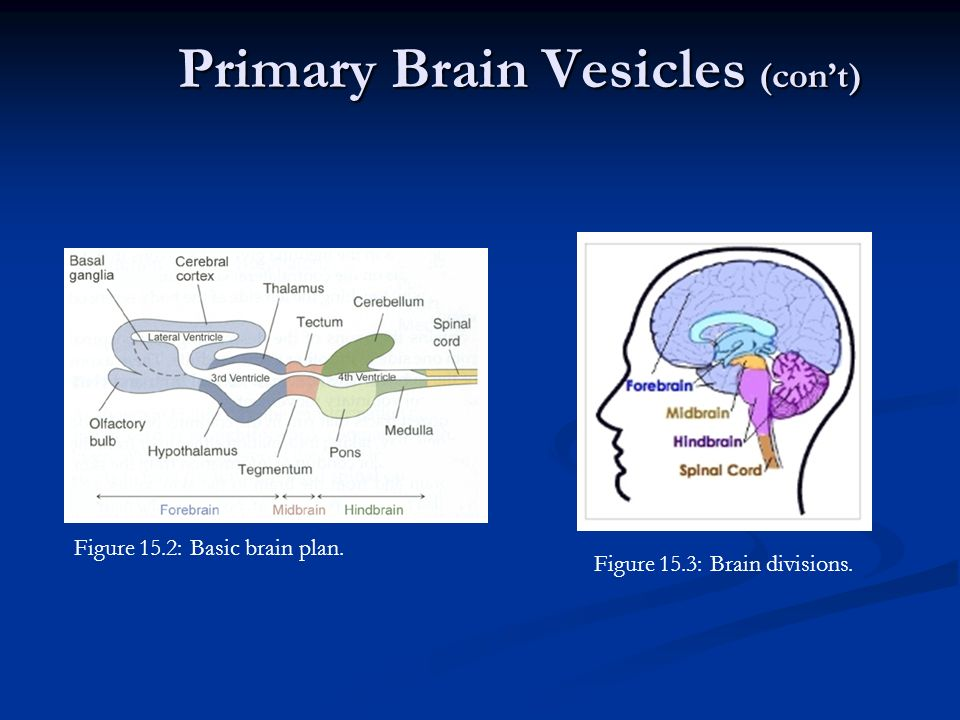 Comparative Anatomy Nervous System Ppt Download