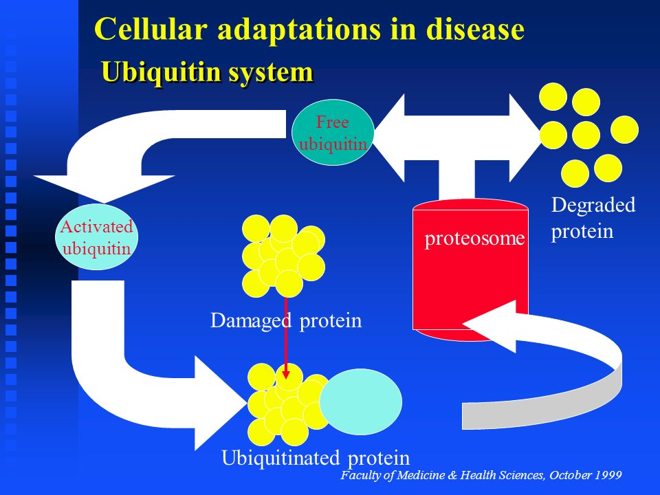 Ubiquitin system Degraded protein proteosome Damaged protein