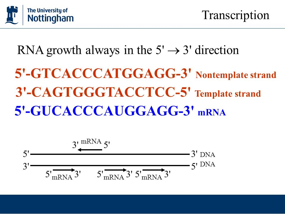 Transcription in prokaryotes ppt video online download 3 cagtgggtacctcc 5 template strand 5 gucacccauggagg 3 mrna maxwellsz