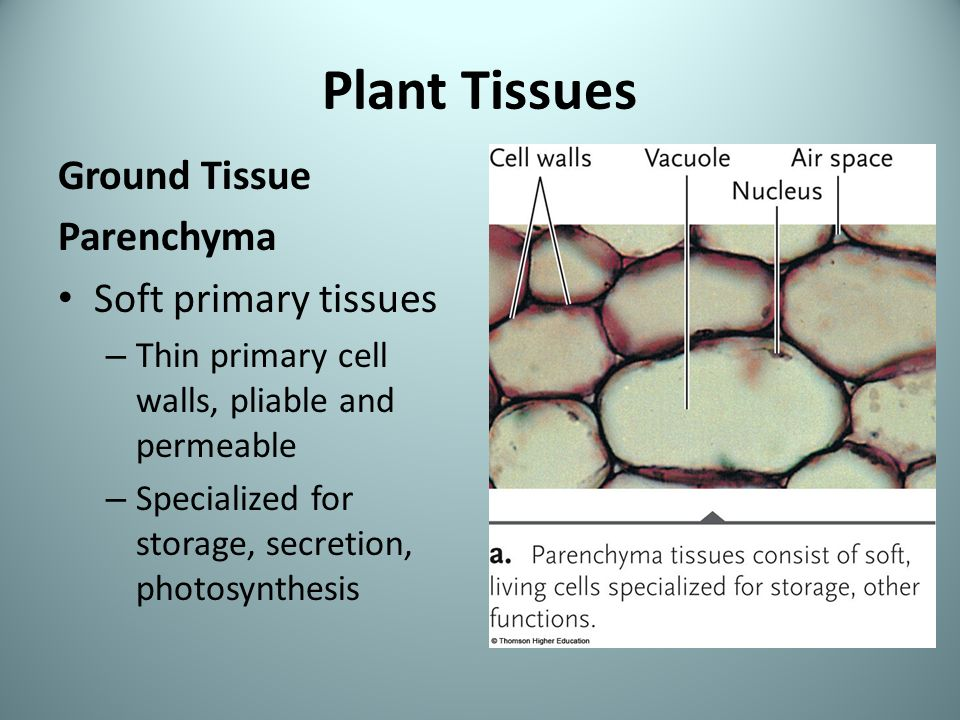 parenchyma tissues Parenchyma tissues (from the pith of the shoot, for example), can be cultivated in appropriate synthetic culture media and are thus prompted to divide they keep their capacity for cell division for several decades, if parts of the culture are transferred to fresh media at regular intervals.