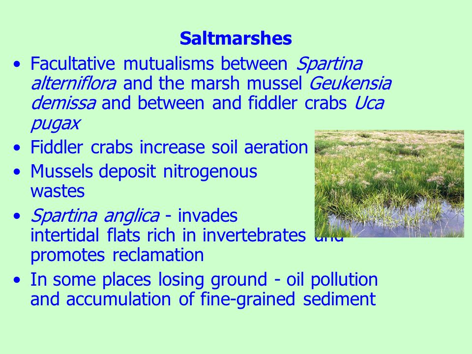 Saltmarshes Facultative mutualisms between Spartina alterniflora and the marsh mussel Geukensia demissa and between and fiddler crabs Uca pugax.
