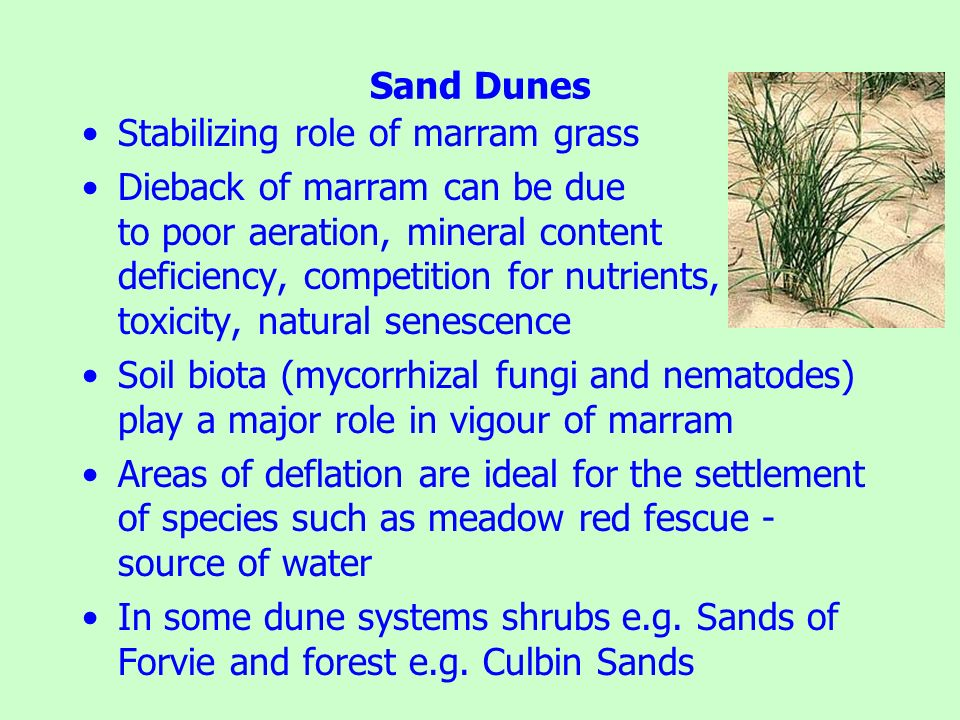 Sand Dunes Stabilizing role of marram grass.