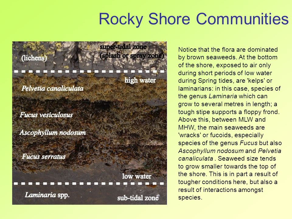 zonation on a rocky shore essay