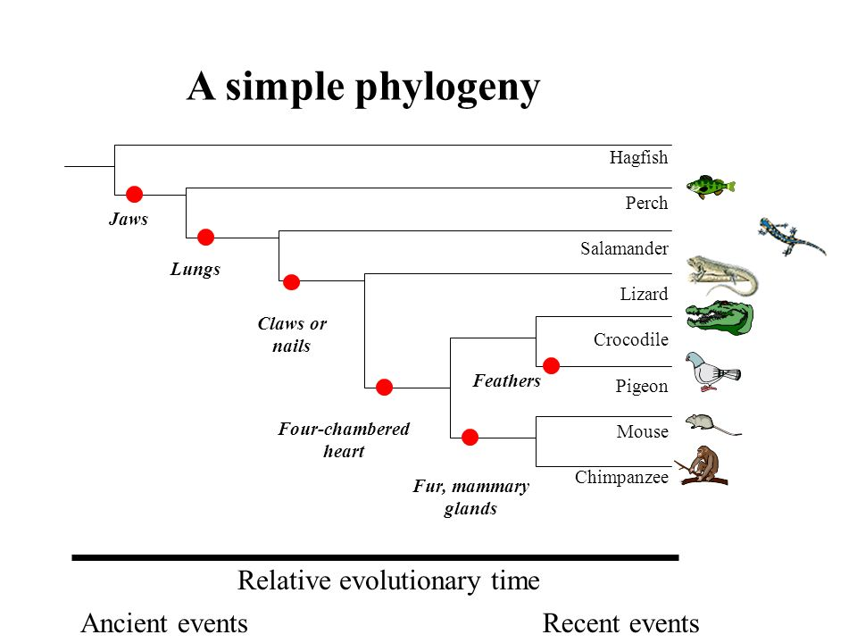 A simple phylogeny Relative evolutionary time Ancient events