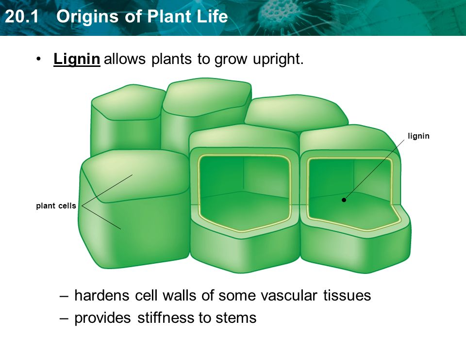 Lignin allows plants to grow upright.