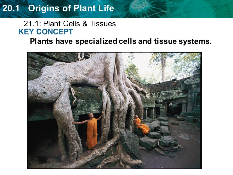 21.1: Plant Cells & Tissues KEY CONCEPT Plants have specialized cells and tissue systems.