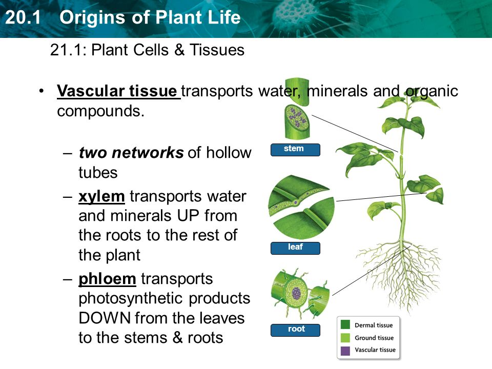 Vascular tissue transports water, minerals and organic compounds.