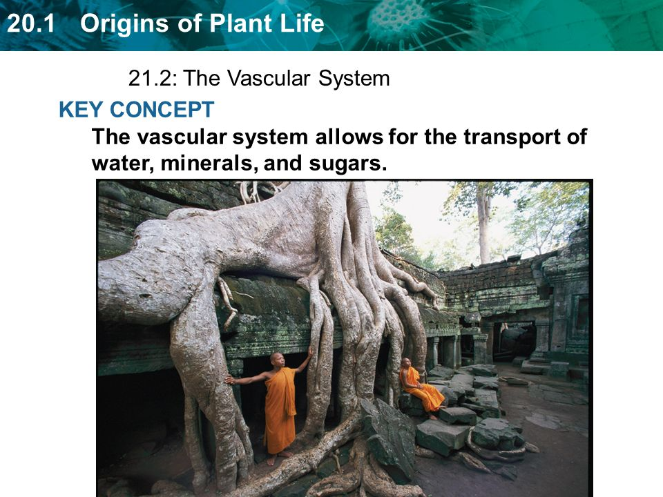 21.2: The Vascular System KEY CONCEPT The vascular system allows for the transport of water, minerals, and sugars.