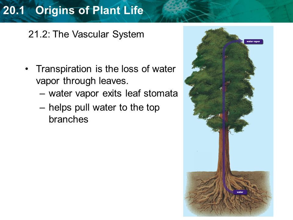 21.2: The Vascular System Transpiration is the loss of water vapor through leaves. water vapor exits leaf stomata.