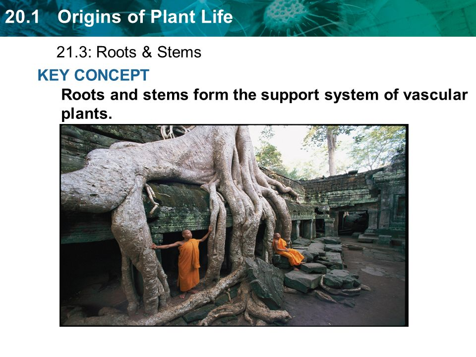 21.3: Roots & Stems KEY CONCEPT Roots and stems form the support system of vascular plants.