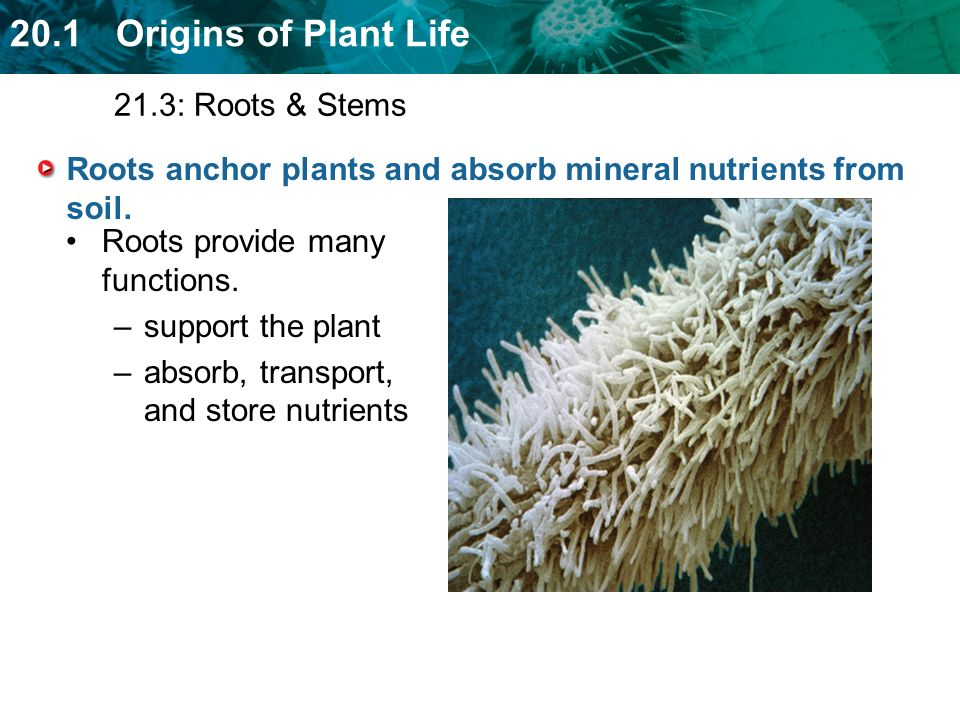 Roots anchor plants and absorb mineral nutrients from soil.
