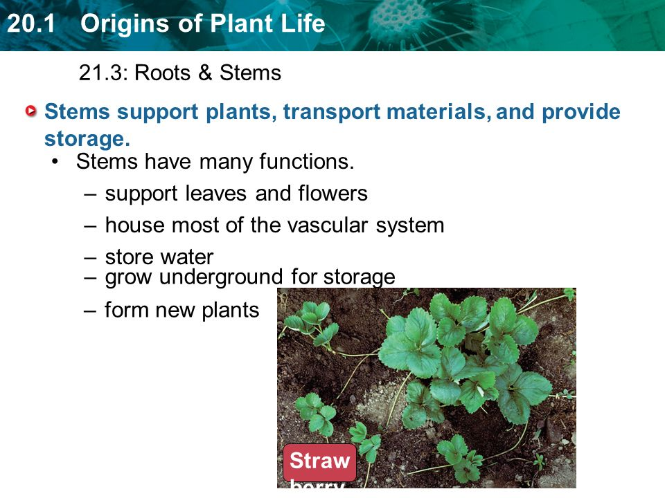 Stems support plants, transport materials, and provide storage.