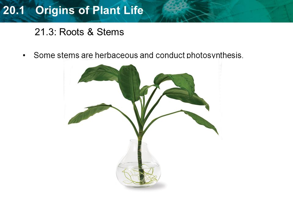 21.3: Roots & Stems Some stems are herbaceous and conduct photosynthesis.