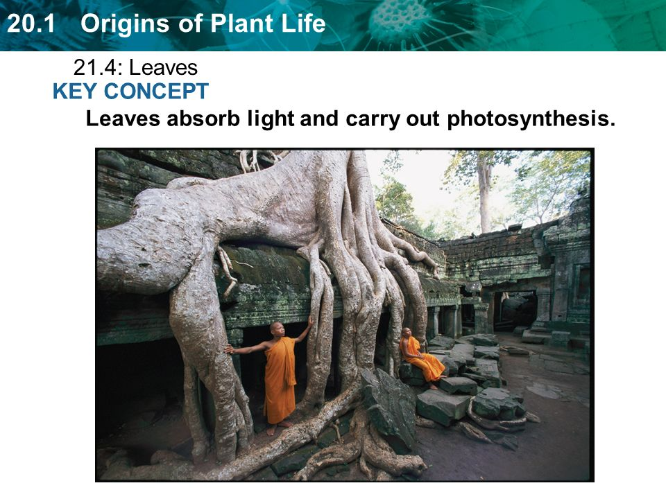 21.4: Leaves KEY CONCEPT Leaves absorb light and carry out photosynthesis.