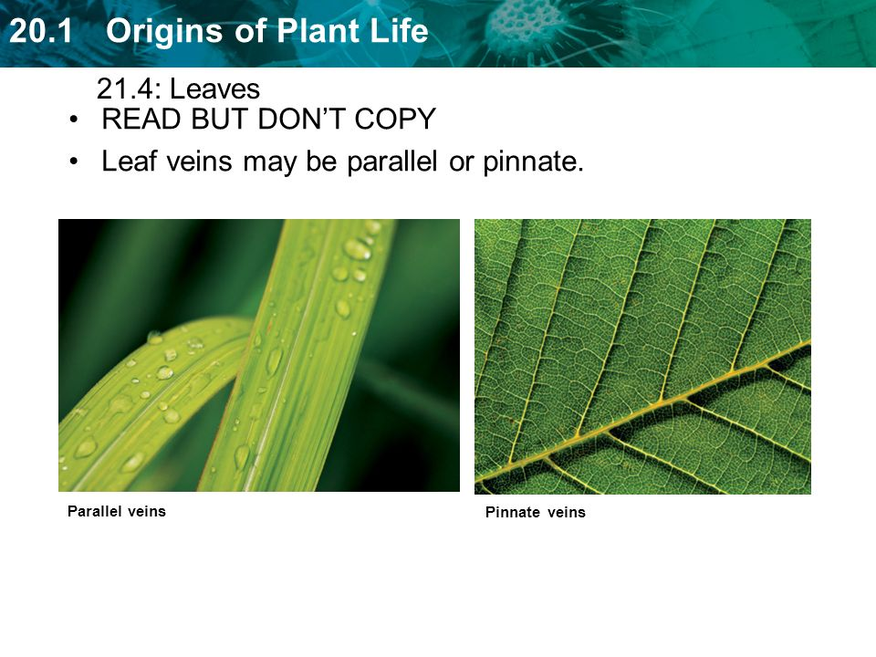 Leaf veins may be parallel or pinnate.