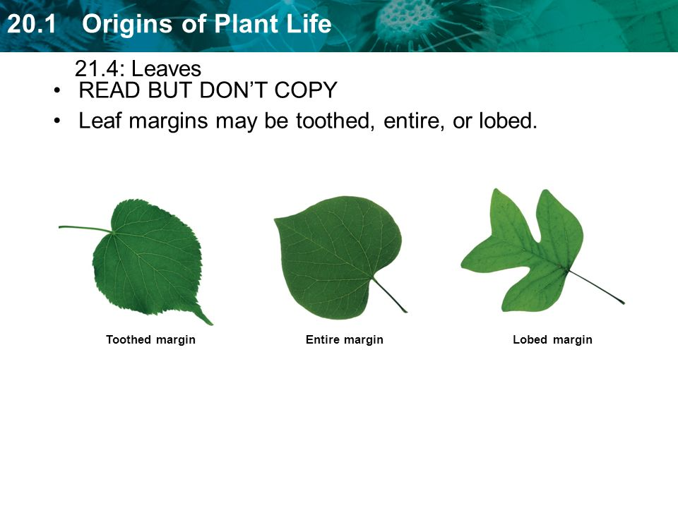 Leaf margins may be toothed, entire, or lobed.