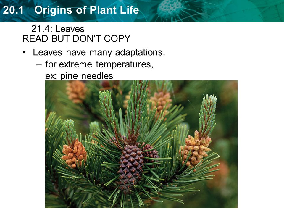 21.4: Leaves READ BUT DON'T COPY. Leaves have many adaptations.