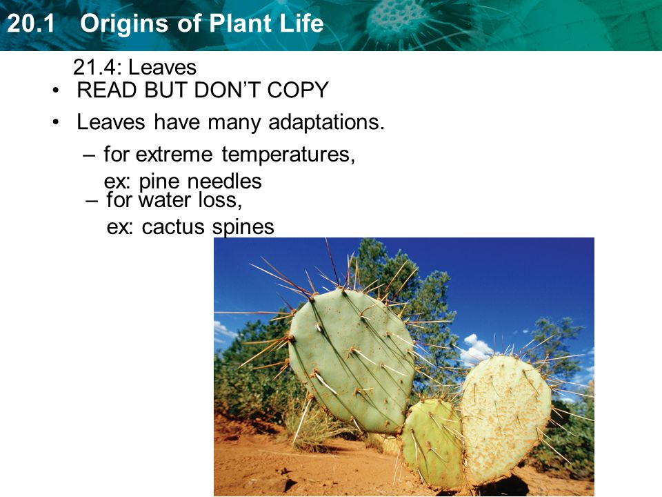 21.4: Leaves READ BUT DON'T COPY. Leaves have many adaptations. for extreme temperatures, ex: pine needles.