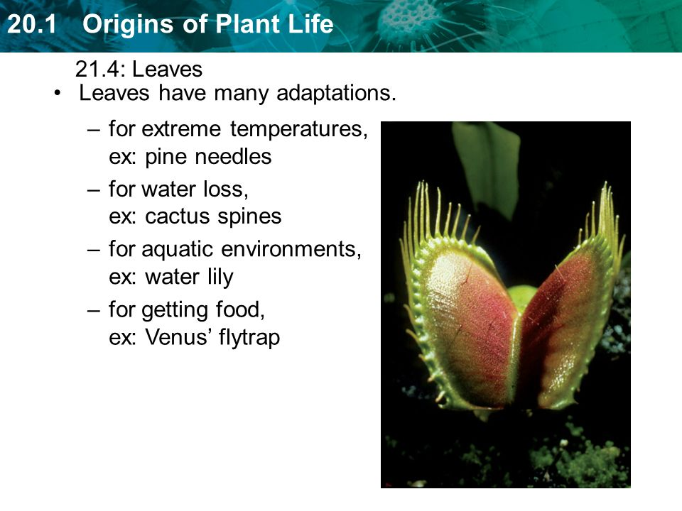 21.4: Leaves Leaves have many adaptations. for extreme temperatures, ex: pine needles. for water loss, ex: cactus spines.