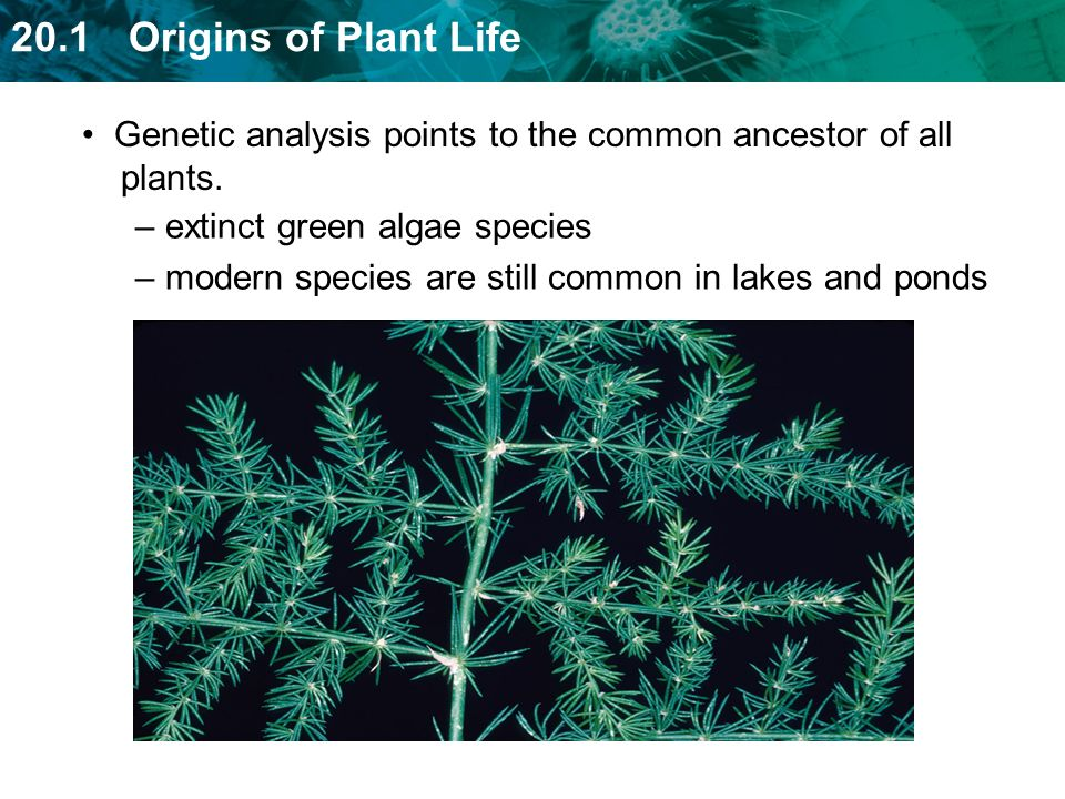 Genetic analysis points to the common ancestor of all plants.