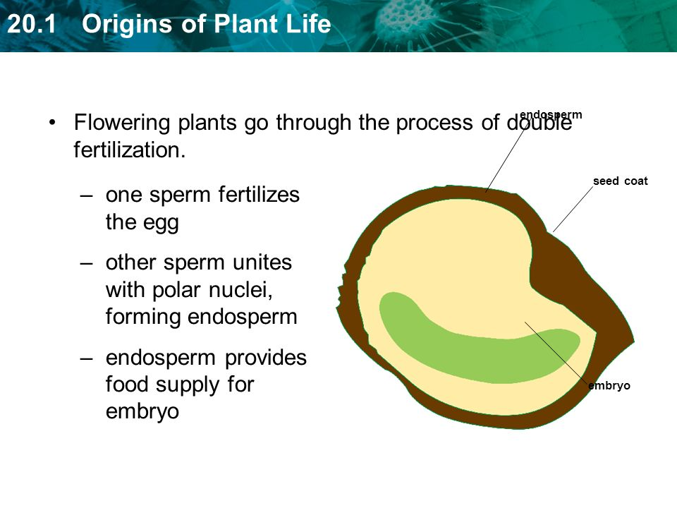 Flowering plants go through the process of double fertilization.